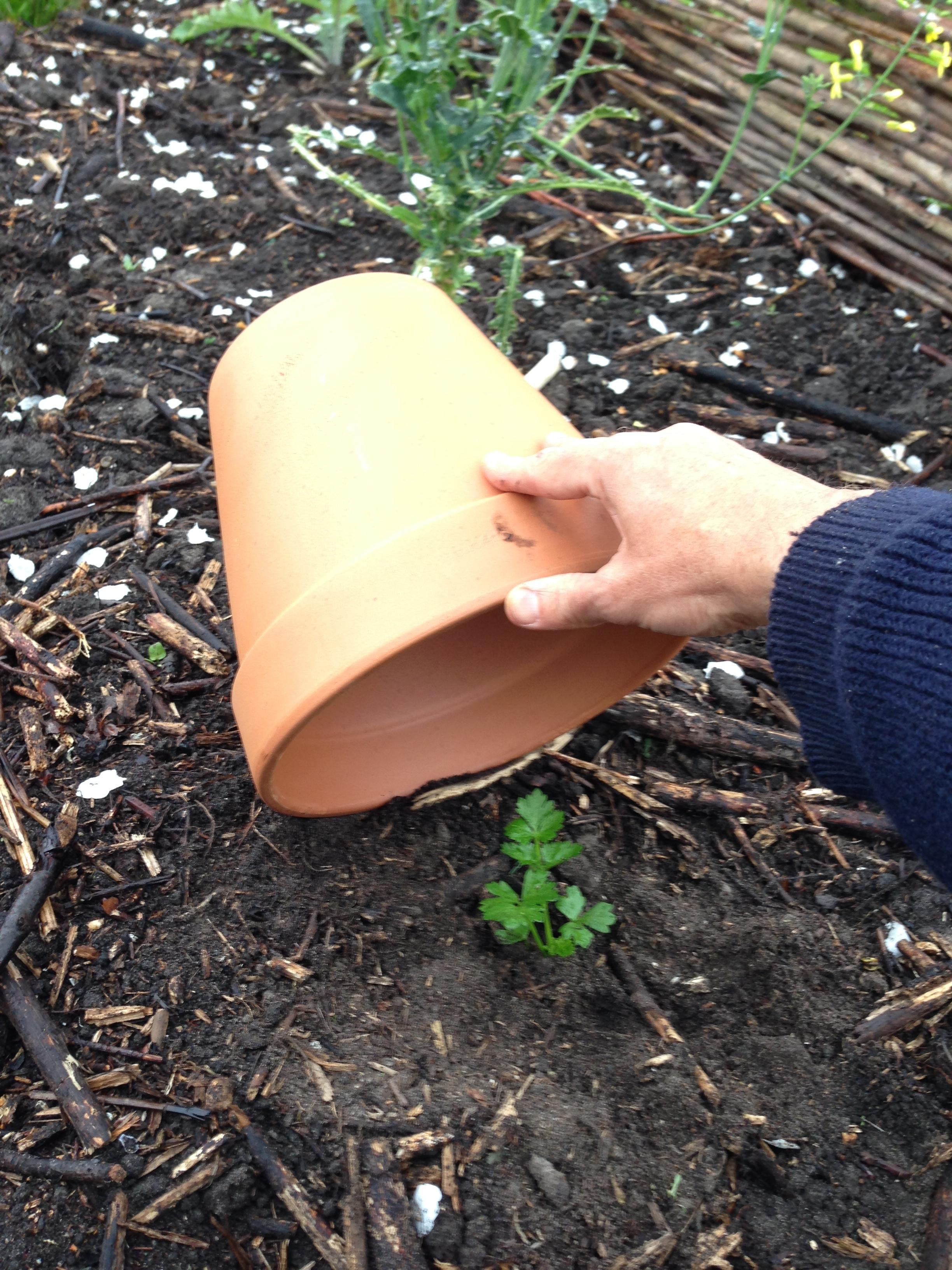 Hier bescherm ik een jong knolselderijplantje tegen slakken.