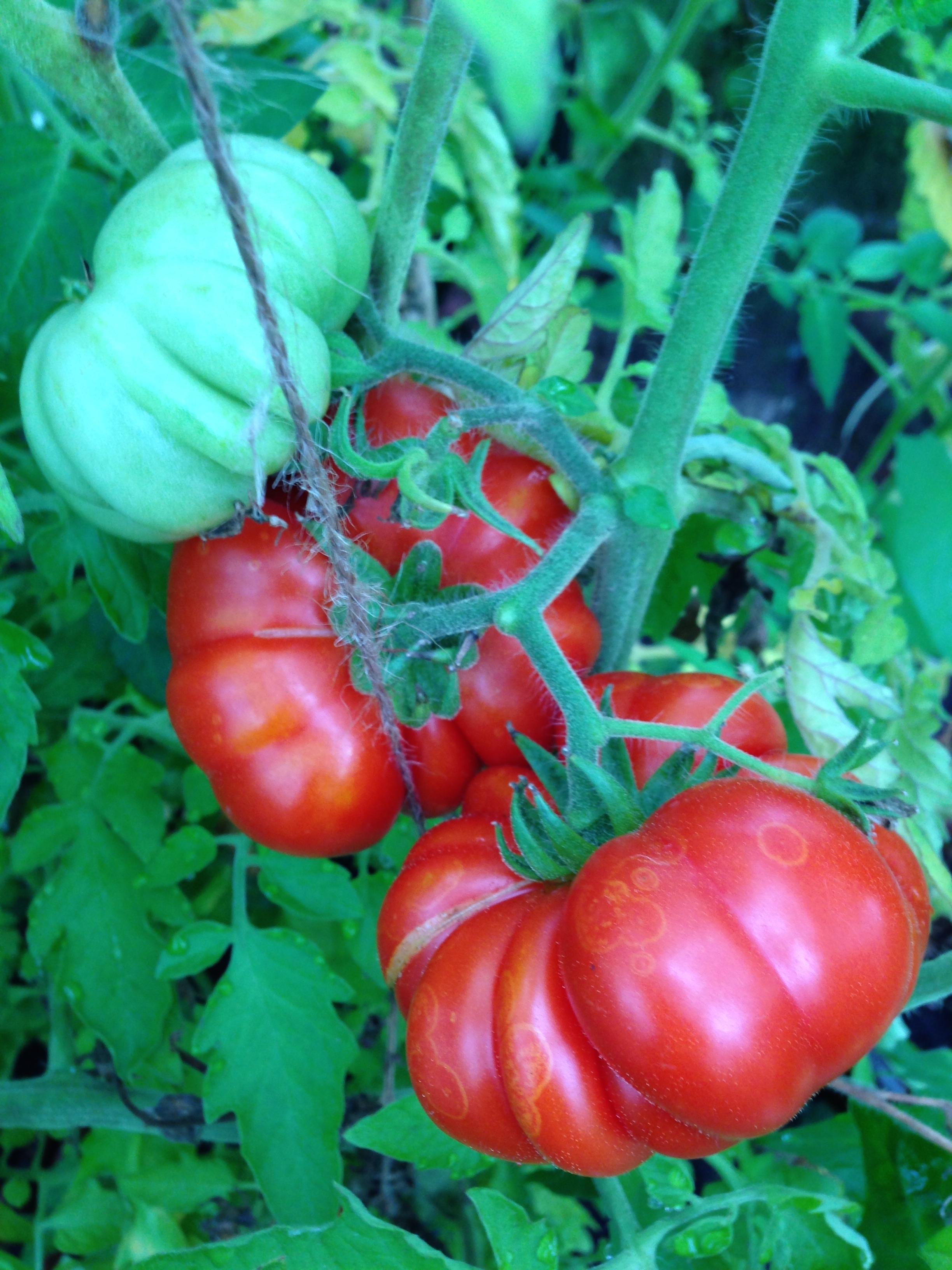 Mijn eerste twee Costoluto Fiorentino tomaten