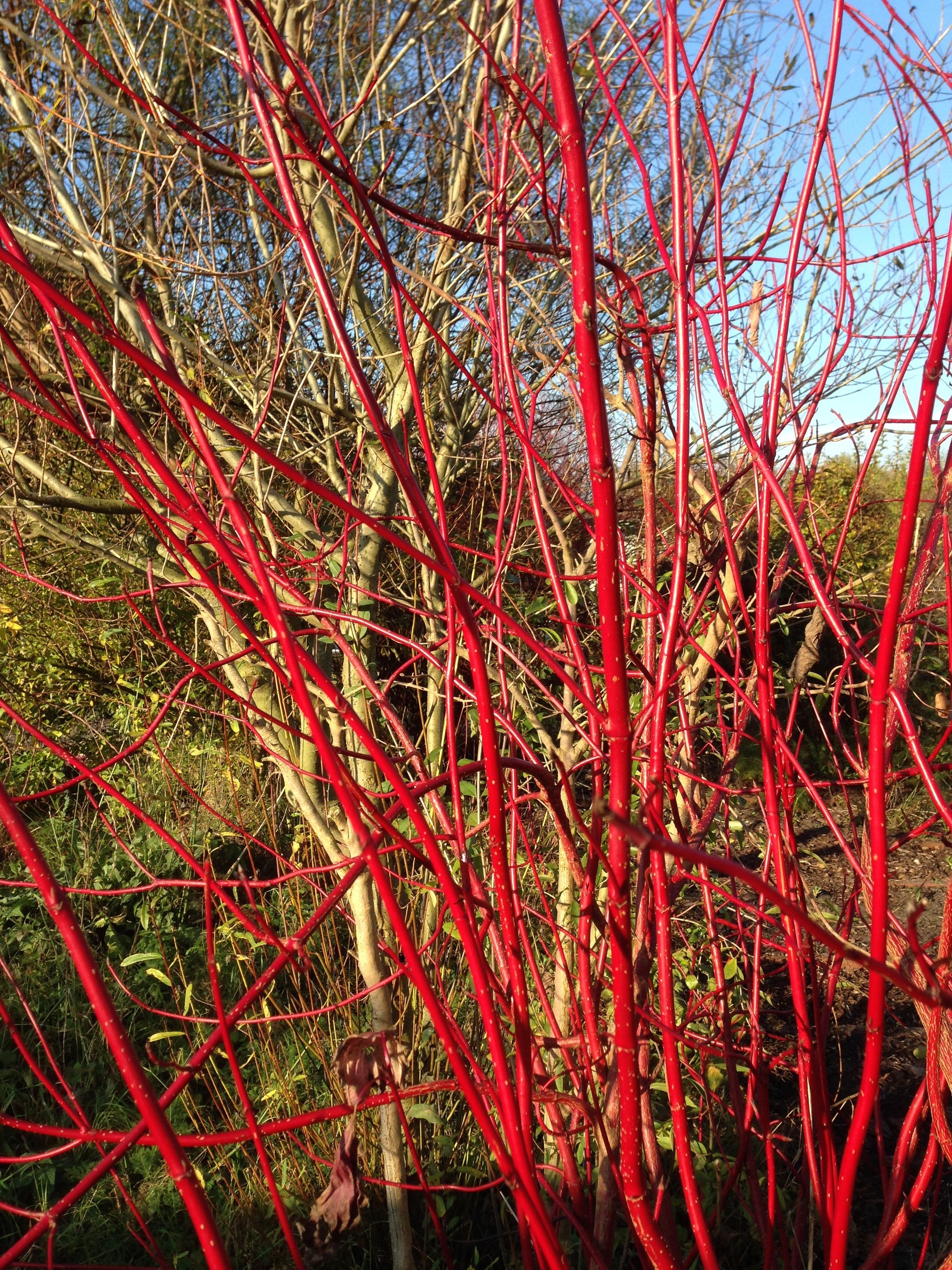 Rode kornoelje: alleen al daarom wil ik nu de tuin in -winter of geen winter.