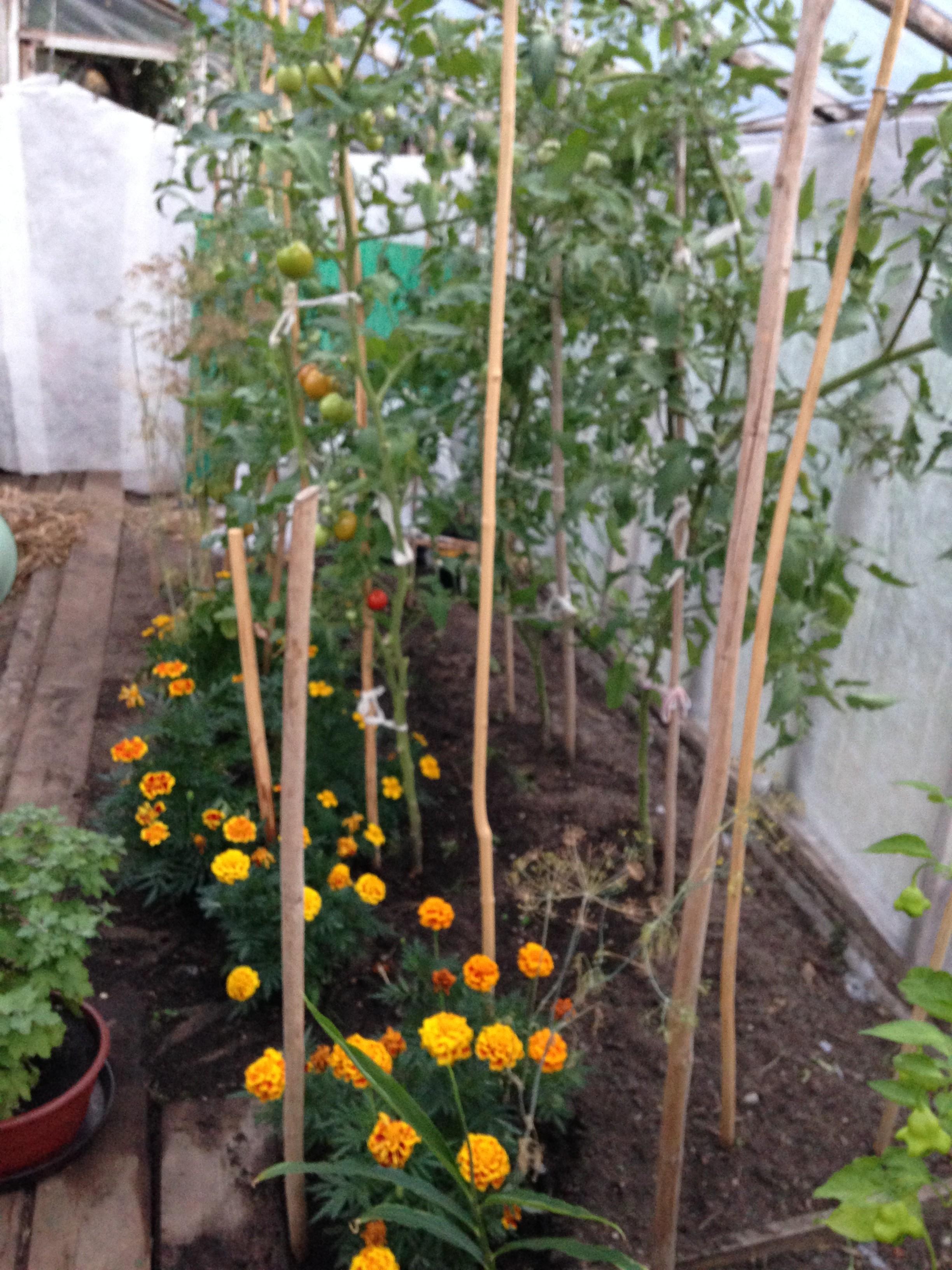 De Litouwse tomaten