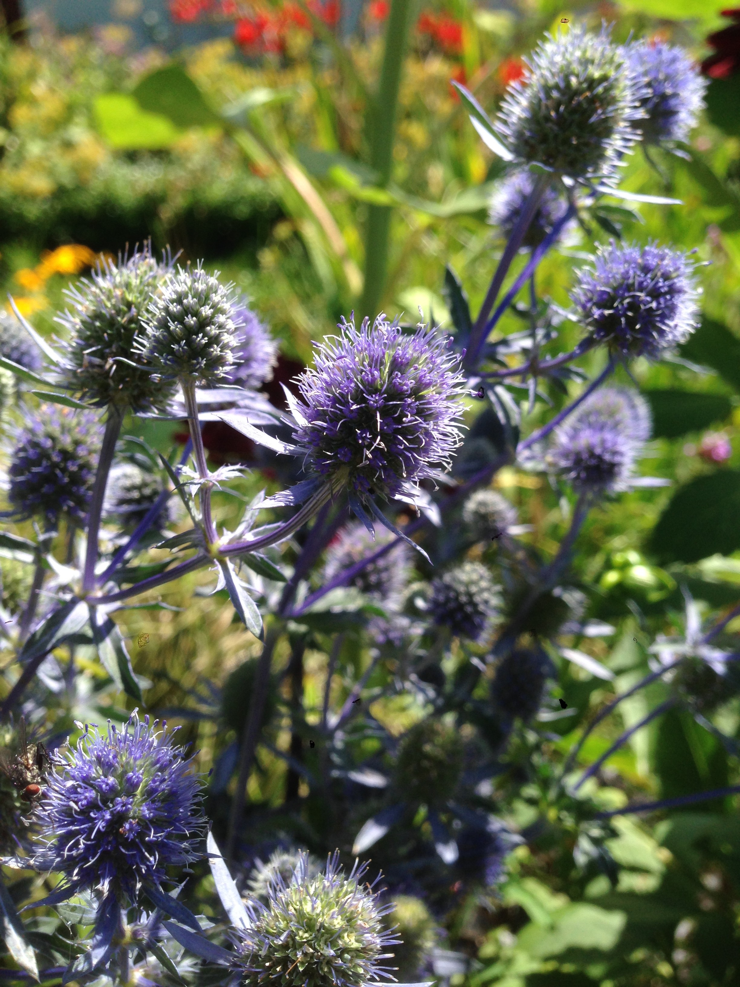 Mijn Eryngium planum, as we speak.