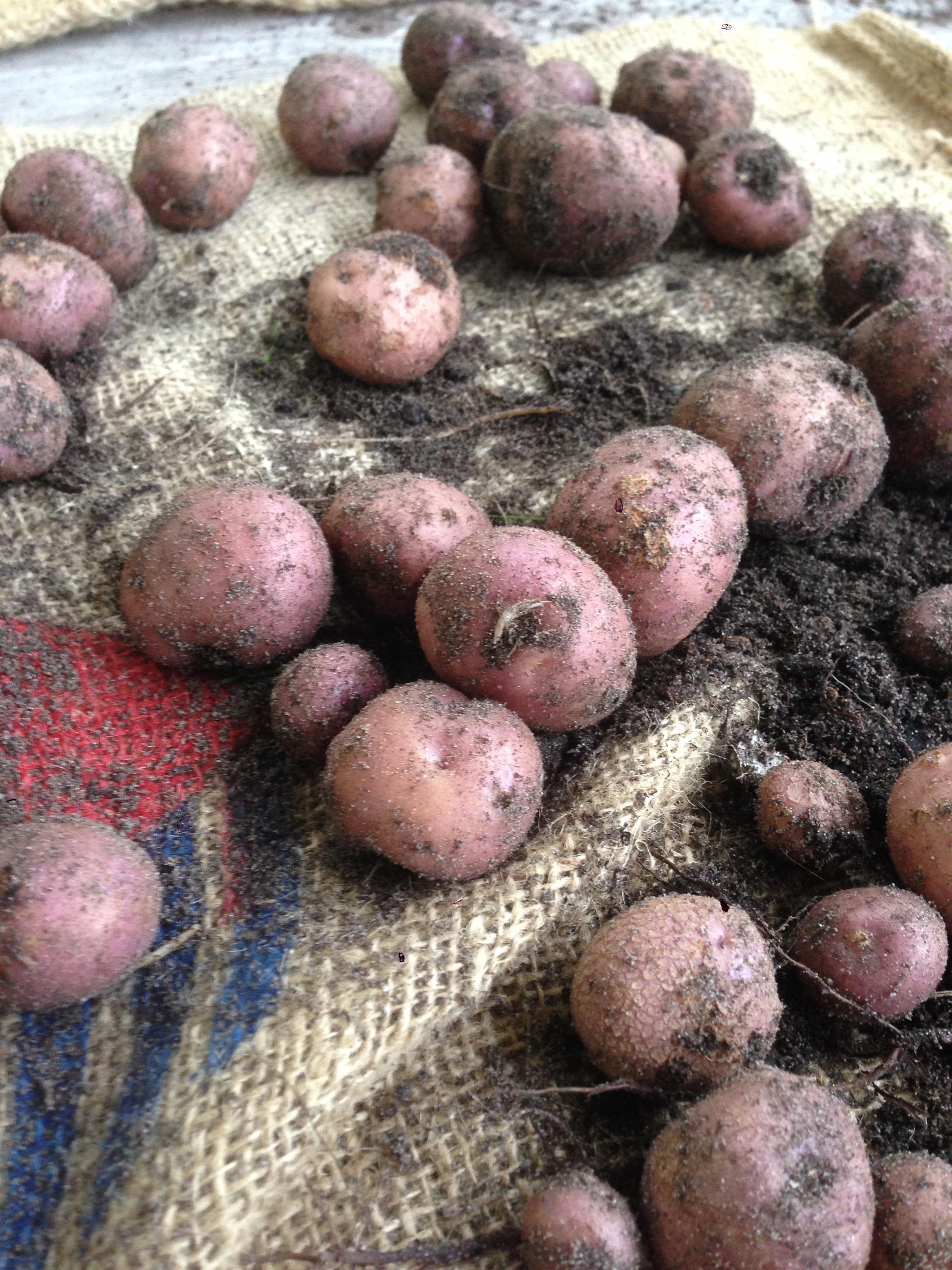 Koopman's blauwe (op één na favoriete aardappel, wegens de ontzettend goeie smaak)