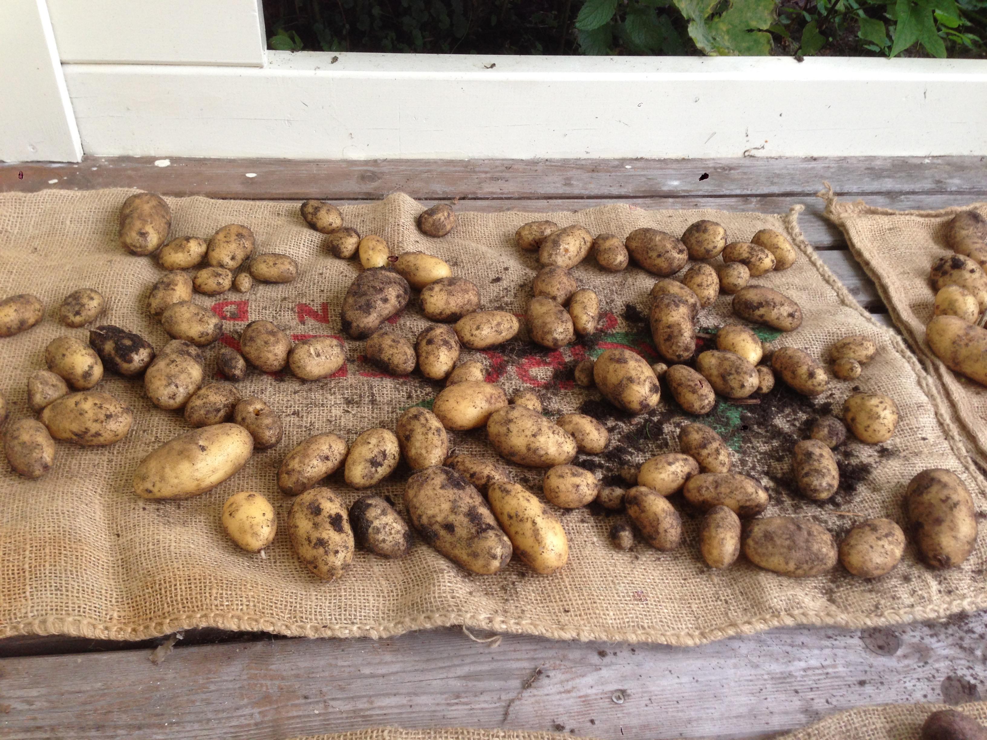 Good old Charlotte: elk jaar weer een heerlijk glazig aardappeltje (mijn favoriet)